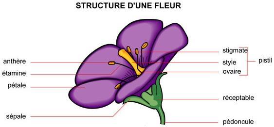 http://ecole.de.rombies.pagesperso-orange.fr/cycle3%200506/fleur_structure.JPG